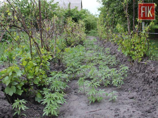 У жителів Кропивницького вилучили майже 1,5 кг марихуани, понад 350 кущів коноплі, гранату та спецзасіб (ФОТО)