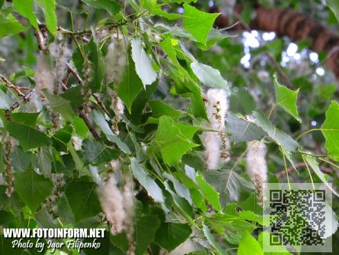 Кіровоград: усі «пухнасті» тополі замінять іншими породами дерев (ФОТО)