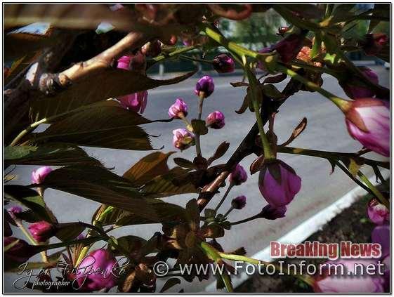 Кропивницький, розцвіла сакура, фоторепортаж, фото филипенко