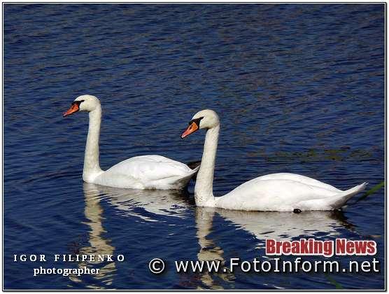 У Кропивницькому оселилися лебеді, фото филипенко
