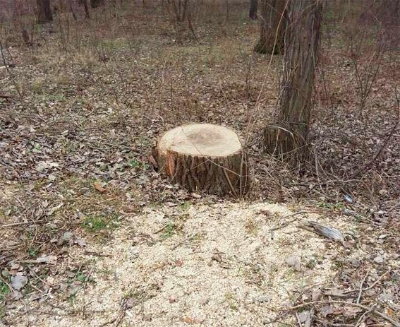 Кіровоградці вже почали пиляти дерева для власних потреб (ФОТО)