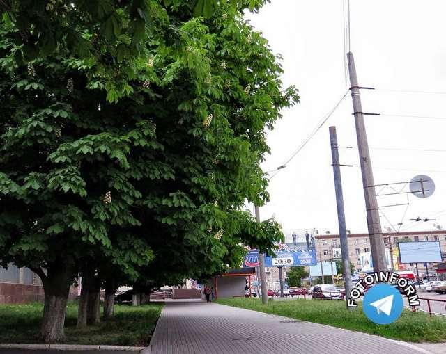 У Кропивницькому гарно розквітли каштани (фоторепортаж) фото игоря филипе