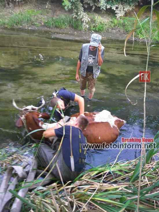 У Кропивницькому бійці ДСНС дістали корову з річки (ФОТО)