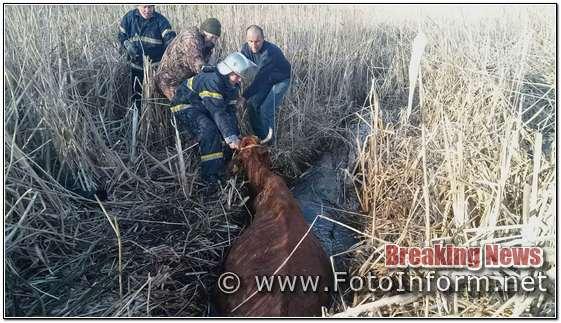 На Кіровоградщині з трясовини витягнули корову