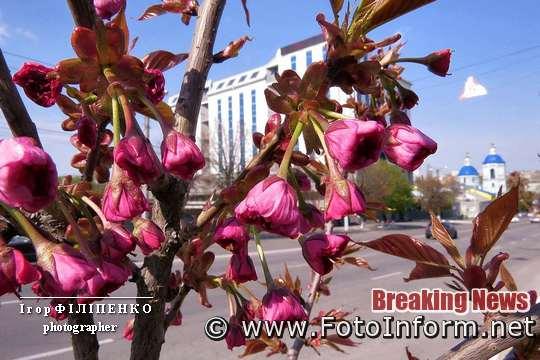 У Кропивницькому почала квітнути сакура