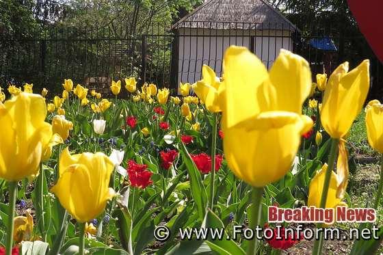Понад три мільйони тюльпанів зацвіло у Кропивницькому (ВІДЕО)