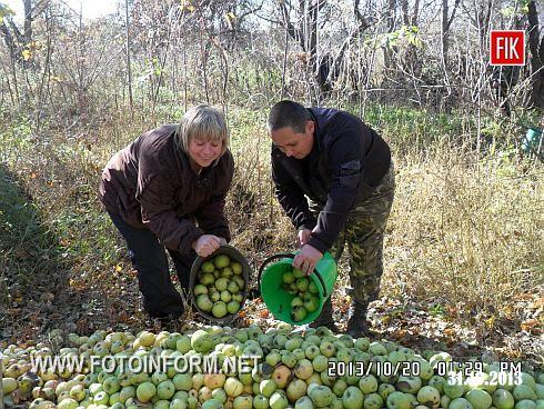 Кіровоградщина: яблуневий сад порадував своєю врожайністю (ФОТО)